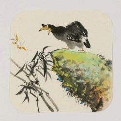 Starling - CNAG006635